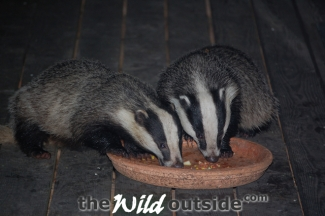 badgers_feeding