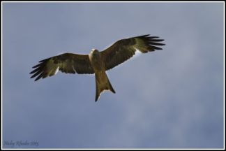red-kite2